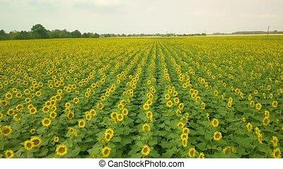 Sunflower field drone shot - Sunflower field in wind drone...