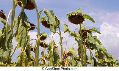 Sunflower field dry flowers rustling - Walking below tall...