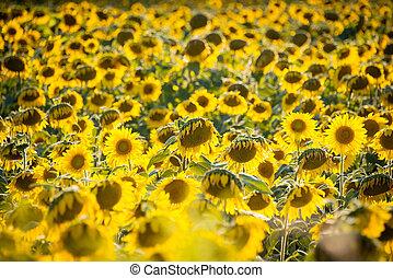 Sunflower field during bright summer day