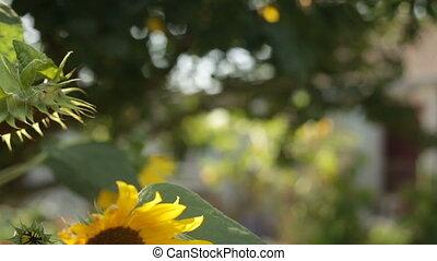 Sunflower field during sunset, Tilt down camera - Sunflower...