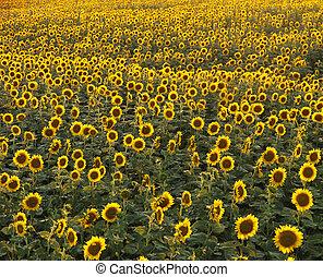Sunflower field - Field of many sunflowers.