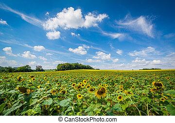 Sunflower field in Jarrettsville, Maryland.