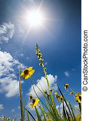Sunflower Field in Texas