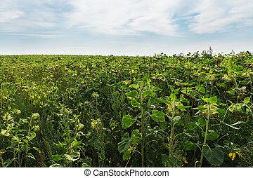 Sunflower field in the autumn season
