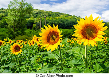 sunflower field in the mountains. lovely agricultural...
