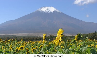Sunflower field on a background of Mount Fuji in Japan