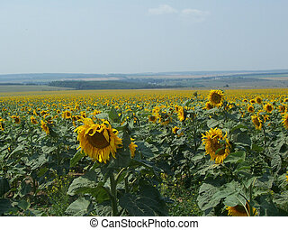 Sunflower field on a bright day