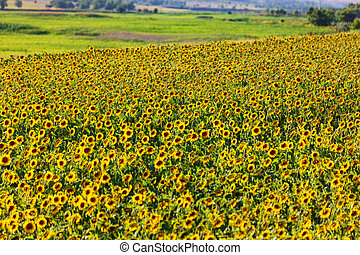 Sunflower field, on a bright summer day,