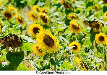Sunflower field on bright summer day