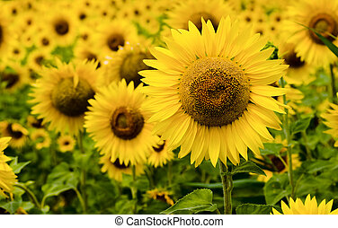 Sunflower field on july, bright yellow color