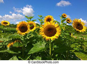 Sunflower field on summer