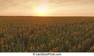 Sunflower field on sunset - Aerial view of sunflower field...