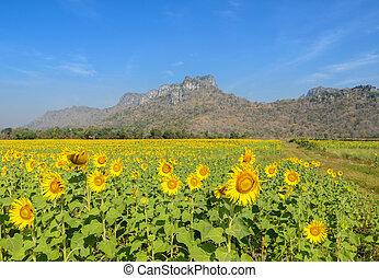 Sunflower field over blue sky