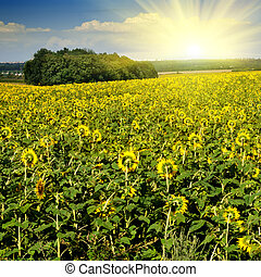 sunflower field over blue sky with sun