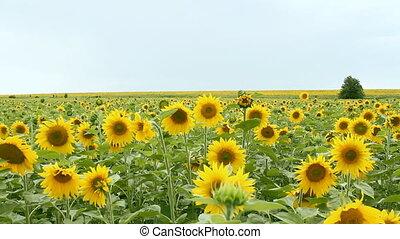 sunflower field over cloudy blue sk