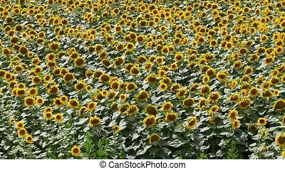 Sunflower field, panning footage