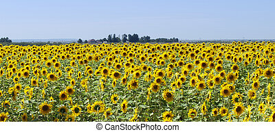 Sunflower field panorama - Panorama of a sunflower ...