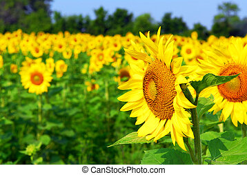 Sunflower field with blooming sunflowers and blue sky