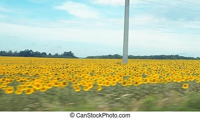 Sunflower field recorded while driving a car. Nature panoramic landscape. Yellow agricultural field with green wood line under blue cloudy sky. Rural landscape at summer.