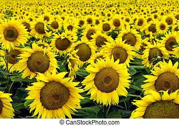 Sunflower field - Beautiful, yellow sunflowers the afield.
