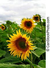 Sunflower field - Summer sunflower field with overcast...