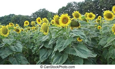 The sunflowers field at sunny day. The agriculture, farming concept