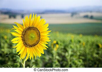 Sunflower field, Tuscany. - Close-up of one sunflower ...