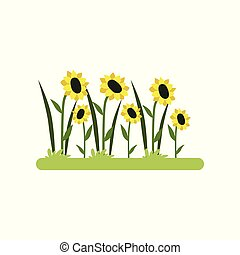 Sunflower field vector Illustration on a white background