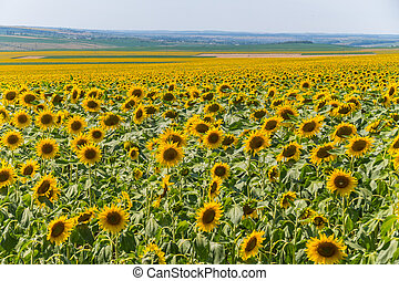 sunflower field with a village in the background