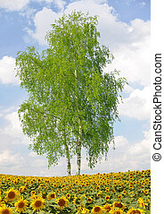 birch - Sunflower field with birch