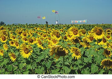sunflower field with Thai and Royal flags
