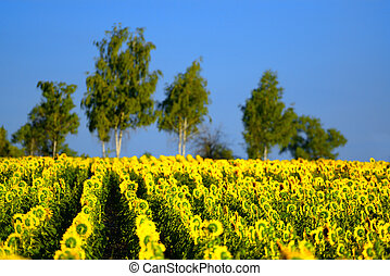 Sunflower field with trees on the background