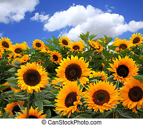 Sunflower Fields - Bunch of Sunflowers in a Field on a Sunny...