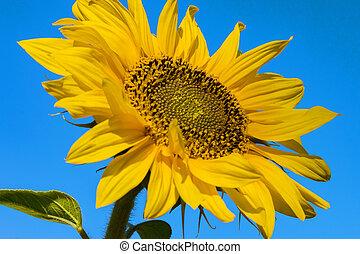 Sunflower flower blossomed against the blue sky