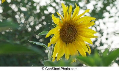 Sunflower flower close-up on a natural background. On a...