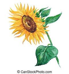sunflower vector flower pedicle nature illustration yellow summer bright natural flora beautiful