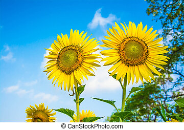 sunflower flowers in the meadow