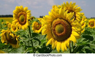 Sunflower flowers on sunny day - Sunflower flowers on a...