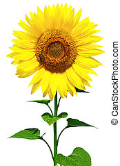 Sunflower - Gorgeous sunflower with green leaves. Isolated...