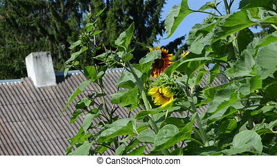 sunflower grow house roof