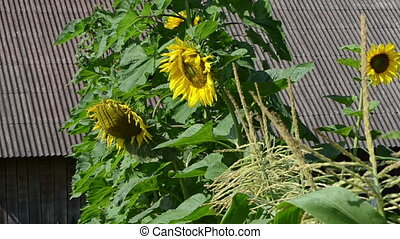 sunflower grow house roof