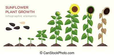 Sunflower growing process vector illustration flat design. Planting process of sunflowers. Growth stages from seed to flowering and fruit-bearing plant with yellow flowers isolated on white background