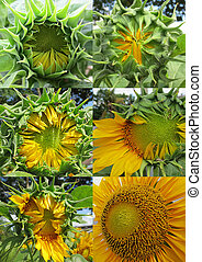 Sunflower growth stages