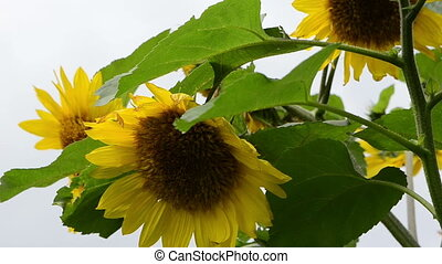 sunflower head move in wind on background of blue cloudy...