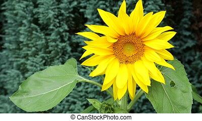 Sunflower - Helianthus - HD - The sunflower (Helianthus)...
