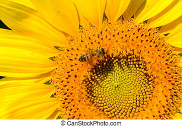 Close-up view of a bee visiting a sunflower to make honey
