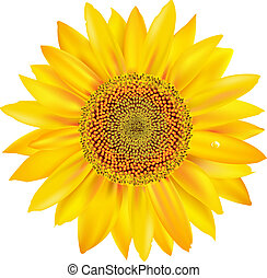 Sunflower Petals Closeup, Isolated On White Background,...