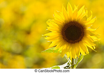 Sunflower in a field - Individual sunflower standing out a...