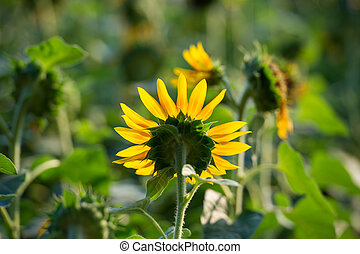 Sunflower in a garden in summer at a sunny day