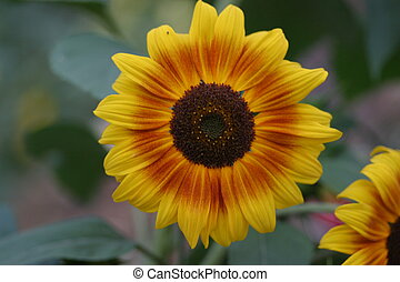 Sunflower in fall